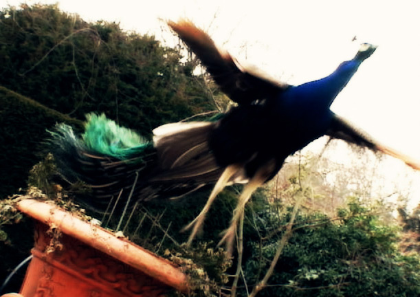 Flying Peacock at Northbrook Park